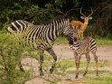 Zebras mit einem männlichen Impala