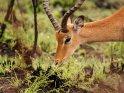 Männliches Impala