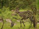 Zebras    Dieses Motiv ist am 15.01.2018 neu in die Kategorie Lake-Mburo Nationalpark aufgenommen worden.