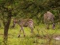 Zebras    Dieses Motiv ist am 21.06.2017 neu in die Kategorie Lake-Mburo Nationalpark aufgenommen worden.