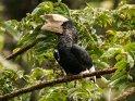 Grauwangenhornvogel
