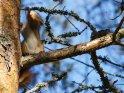 Eichhörnchen in Bewegung