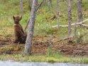 Dieses Kartenmotiv ist seit dem 31. Januar 2018 in der Kategorie Fotos von Braunbären in Finnland.