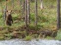 Dieses Motiv findet sich seit dem 29. August 2018 in der Kategorie Fotos von Braunbären in Finnland.