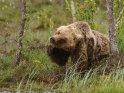 Dieses Motiv wurde am 30. Mai 2016 in die Kategorie Fotos von Braunbären in Finnland eingefügt.