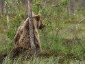 Dieses Kartenmotiv ist seit dem 28. Februar 2017 in der Kategorie Fotos von Braunbären in Finnland.