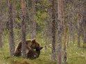 Dieses Motiv ist am 11.01.2019 neu in die Kategorie Fotos von Braunbären in Finnland aufgenommen worden.