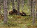 Dieses Motiv befindet sich seit dem 27. November 2018 in der Kategorie Fotos von Braunbären in Finnland.