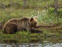 Dieses Motiv findet sich seit dem 30. Juni 2017 in der Kategorie Fotos von Braunbären in Finnland.