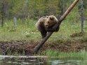 Ein Bär ist auf einen halb umgekippten Baum am Seeufer geklettert und schaut in die Ferne während er sich daran festhält.