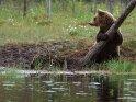 Dieses Motiv finden Sie seit dem 01. Mai 2017 in der Kategorie Fotos von Braunbären in Finnland.