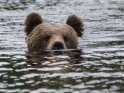 Dieses Motiv befindet sich seit dem 28. Oktober 2018 in der Kategorie Fotos von Braunbären in Finnland.