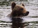 Braunbär taucht nach dem Schwimmen aus einem See auf.