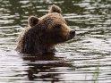 Badender Braunbär fährt sich mit der Tatze durch das Kopffell.
