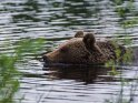 In einem See schwimmender Braunbär