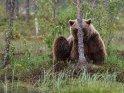 Dieses Kartenmotiv ist seit dem 28. September 2018 in der Kategorie Fotos von Braunbären in Finnland.