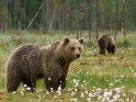Dieses Motiv ist am 19.02.2017 neu in die Kategorie Fotos von Braunbären in Finnland aufgenommen worden.
