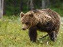 Dieses Motiv ist am 25.06.2017 neu in die Kategorie Fotos von Braunbären in Finnland aufgenommen worden.