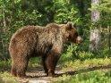 Dieses Kartenmotiv ist seit dem 28. September 2015 in der Kategorie Fotos von Braunbären in Finnland.