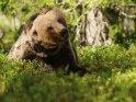 Dieses Motiv findet sich seit dem 26. Februar 2016 in der Kategorie Fotos von Braunbären in Finnland.