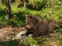 Dieses Motiv ist am 02.03.2019 neu in die Kategorie Fotos von Braunbären in Finnland aufgenommen worden.