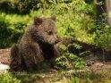 Dieses Kartenmotiv wurde am 22. März 2019 neu in die Kategorie Fotos von Braunbären in Finnland aufgenommen.