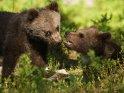 Dieses Kartenmotiv ist seit dem 02. November 2017 in der Kategorie Fotos von Braunbären in Finnland.