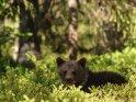 Dieses Motiv ist am 14.08.2017 neu in die Kategorie Fotos von Braunbären in Finnland aufgenommen worden.