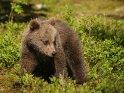 Dieses Motiv finden Sie seit dem 29. September 2015 in der Kategorie Fotos von Braunbären in Finnland.