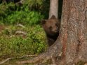 Dieses Motiv ist am 21.04.2018 neu in die Kategorie Fotos von Braunbären in Finnland aufgenommen worden.