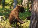 Dieses Motiv wurde am 28. August 2016 in die Kategorie Fotos von Braunbären in Finnland eingefügt.