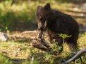 Dieses Motiv finden Sie seit dem 10. Februar 2019 in der Kategorie Fotos von Braunbären in Finnland.