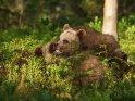 Dieses Kartenmotiv wurde am 02. März 2018 neu in die Kategorie Fotos von Braunbären in Finnland aufgenommen.