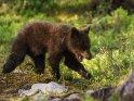 Dieses Motiv ist am 18.10.2018 neu in die Kategorie Fotos von Braunbären in Finnland aufgenommen worden.