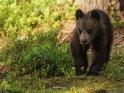 Dieses Motiv ist am 22.11.2017 neu in die Kategorie Fotos von Braunbären in Finnland aufgenommen worden.