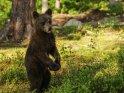 Dieses Motiv ist am 13.10.2017 neu in die Kategorie Fotos von Braunbären in Finnland aufgenommen worden.