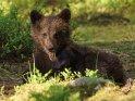 Dieses Motiv wurde am 27. November 2017 in die Kategorie Fotos von Braunbären in Finnland eingefügt.