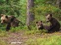 Dieses Kartenmotiv ist seit dem 29. August 2015 in der Kategorie Fotos von Braunbären in Finnland.