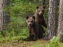 Dieses Kartenmotiv ist seit dem 28. April 2016 in der Kategorie Fotos von Braunbären in Finnland.