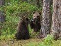 Dieses Kartenmotiv wurde am 30. Juni 2018 neu in die Kategorie Fotos von Braunbären in Finnland aufgenommen.