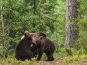 Dieses Motiv ist am 25.05.2016 neu in die Kategorie Fotos von Braunb�ren in Finnland aufgenommen worden.