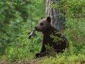 Dieses Motiv ist am 20.07.2017 neu in die Kategorie Fotos von Braunbären in Finnland aufgenommen worden.
