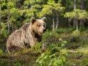 Dieses Motiv finden Sie seit dem 27. September 2015 in der Kategorie Fotos von Braunbären in Finnland.
