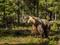 Dieses Motiv ist am 06.04.2017 neu in die Kategorie Fotos von Braunbären in Finnland aufgenommen worden.