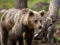 Dieses Motiv befindet sich seit dem 29. August 2017 in der Kategorie Fotos von Braunbären in Finnland.