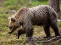 Halbstarker Braunbär, der gerade sein Fell verliert, läuft durch den Wald