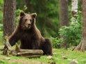 Dieses Kartenmotiv wurde am 31. Januar 2019 neu in die Kategorie Fotos von Braunbären in Finnland aufgenommen.