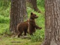 Dieses Kartenmotiv ist seit dem 27. Juli 2016 in der Kategorie Fotos von Braunbären in Finnland.
