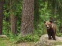 Dieses Motiv befindet sich seit dem 30. April 2016 in der Kategorie Fotos von Braunbären in Finnland.