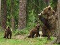 Dieses Kartenmotiv ist seit dem 25. Februar 2016 in der Kategorie Fotos von Braunbären in Finnland.